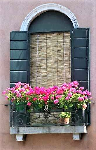 gerani in vaso con fiori rosa