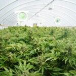 La cannabis light può essere coltivata in casa: ecco come fare