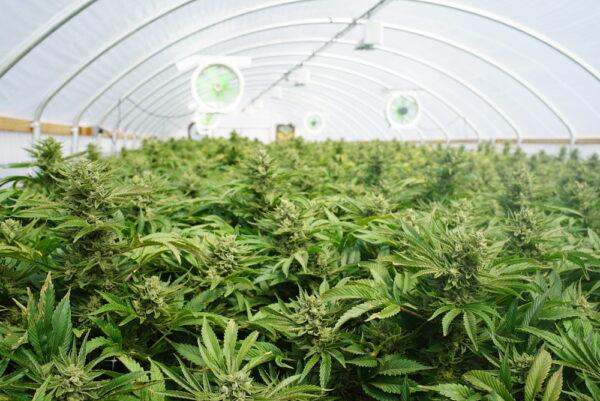 La coltivazione della cannabis light in casa